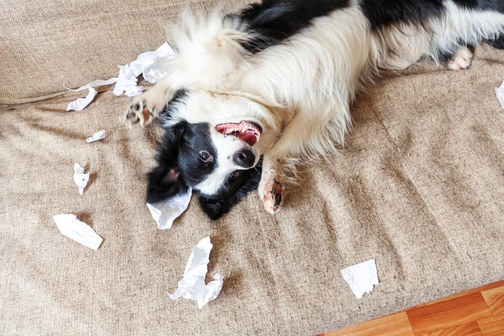 【プロドッグトレーナー監修】犬のトイレトレーニングをしつける方法とそのポイントとは?