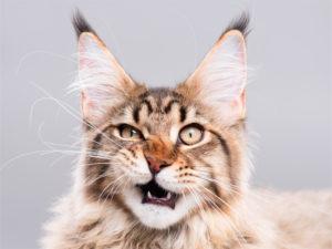 猫がニオイを嗅いだ時に見せる変顔!その名も「フレーメン反応」