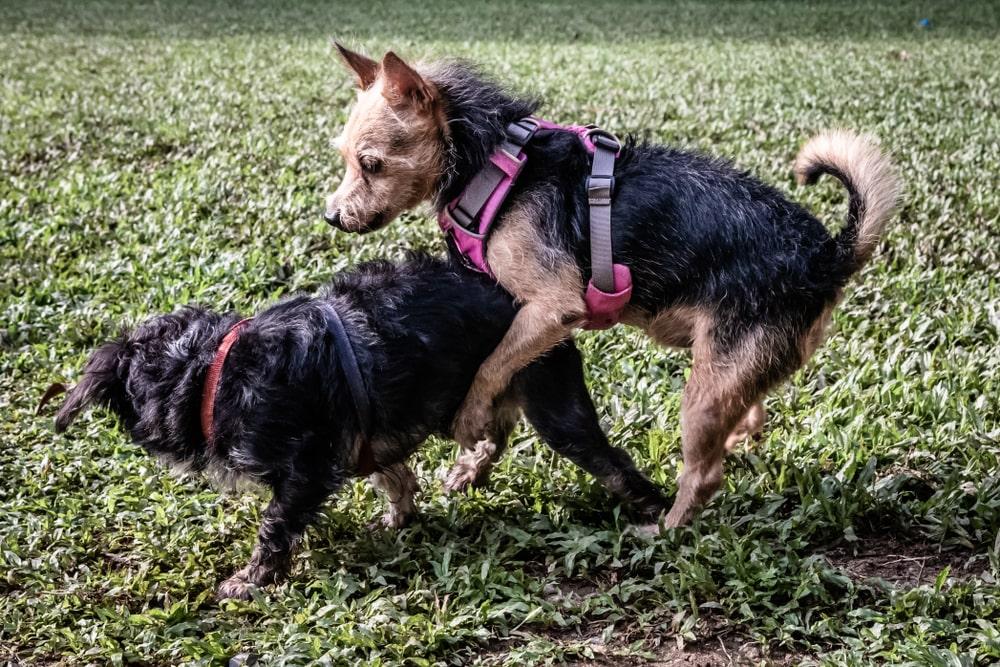 犬がマウンティングをする理由と辞めさせる方法を紹介