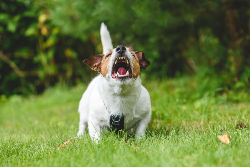 犬がマウンティングをする理由
