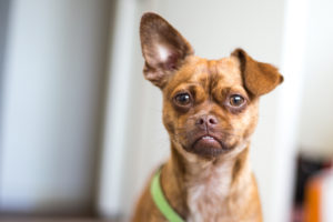【プロドッグトレーナー監修】犬の耳そうじは注意が必要! 正しいケアの方法を知っておこう