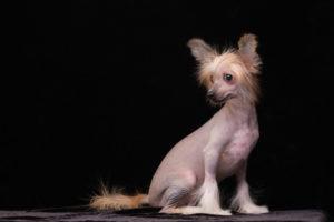 【プロドッグトレーナー監修】最高に個性的!毛のない犬の代表格って?