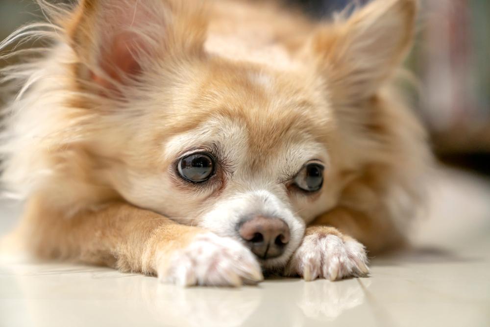 【プロドッグトレーナー監修】犬の分離不安は放っておかないで!その原因と対策とは
