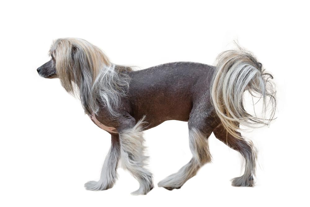 チャイニーズ・クレステッド・ドッグってどんな犬種?