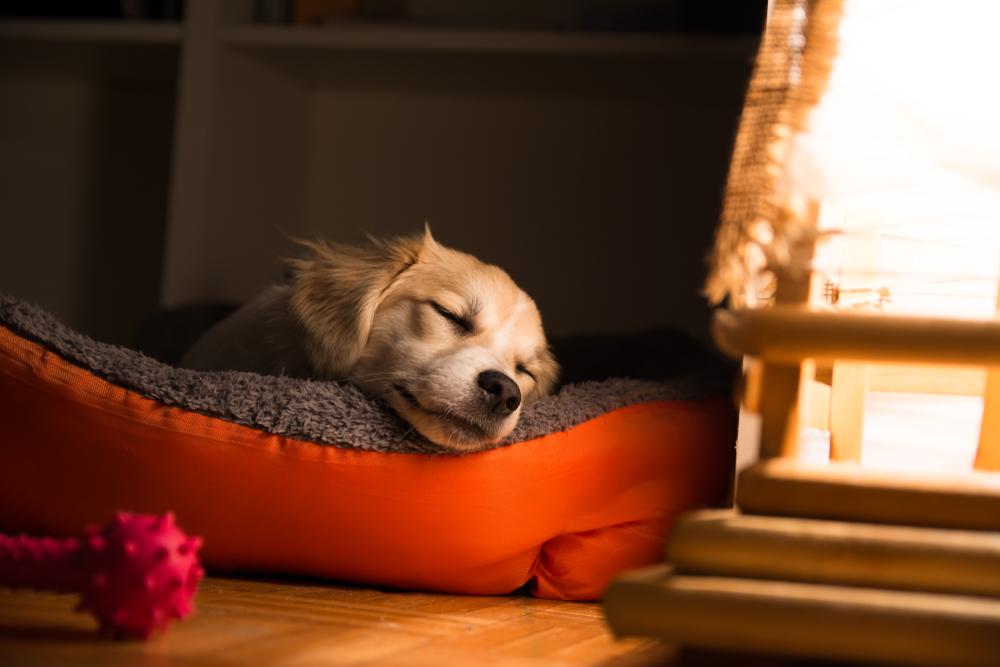 犬の夜鳴き(夜泣き)の理由と対策その①:1頭で寝ることに慣れていない