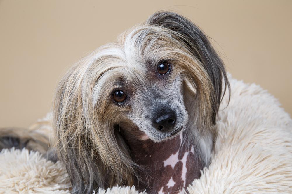 毛のない犬種って、他にもいるの?