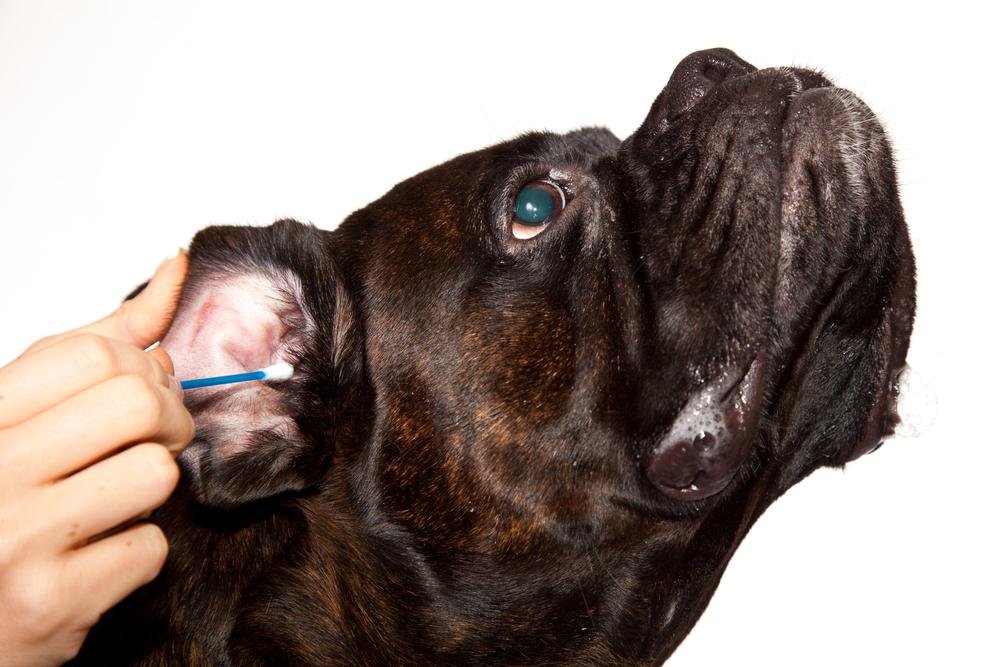 犬の耳そうじの前に、知っておくべき耳の異変の気付き方