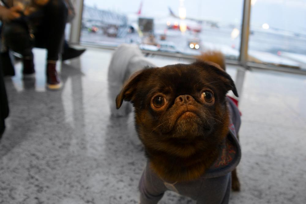 海外に犬を連れて行く場合は、書類の準備が盛りだくさん!