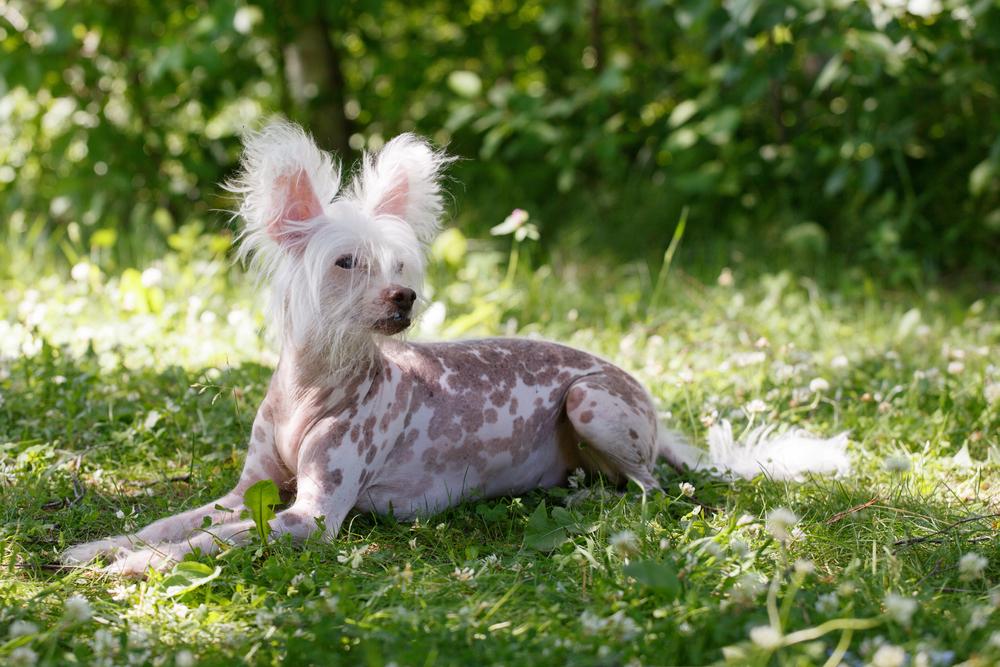毛のない犬種との暮らし方と注意点