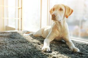 【プロドッグトレーナー監修】犬との暮らしにカーペットは必要?愛犬の足腰を考える生活を