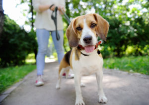 【プロドッグトレーナー監修】愛犬が散歩で歩かない!その理由は?