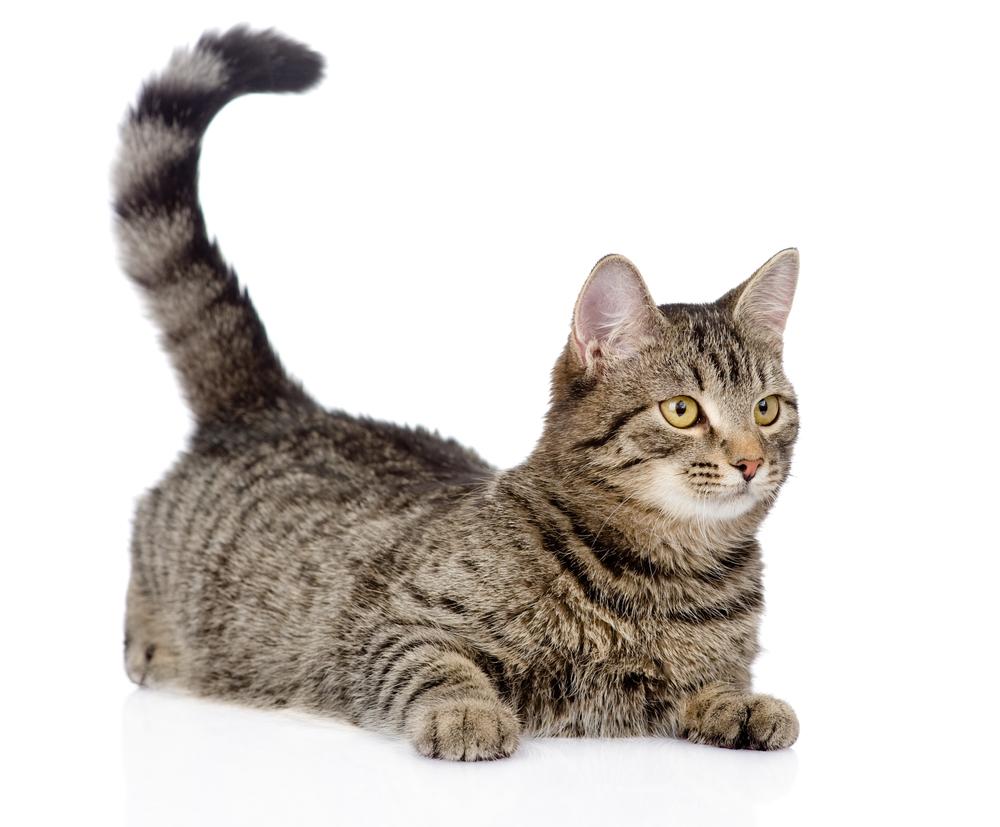 しっぽの動きでわかる!猫の気持ちを知るために