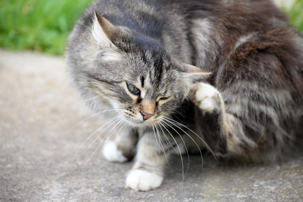 愛猫にノミがいた!完全駆除の方法とは?