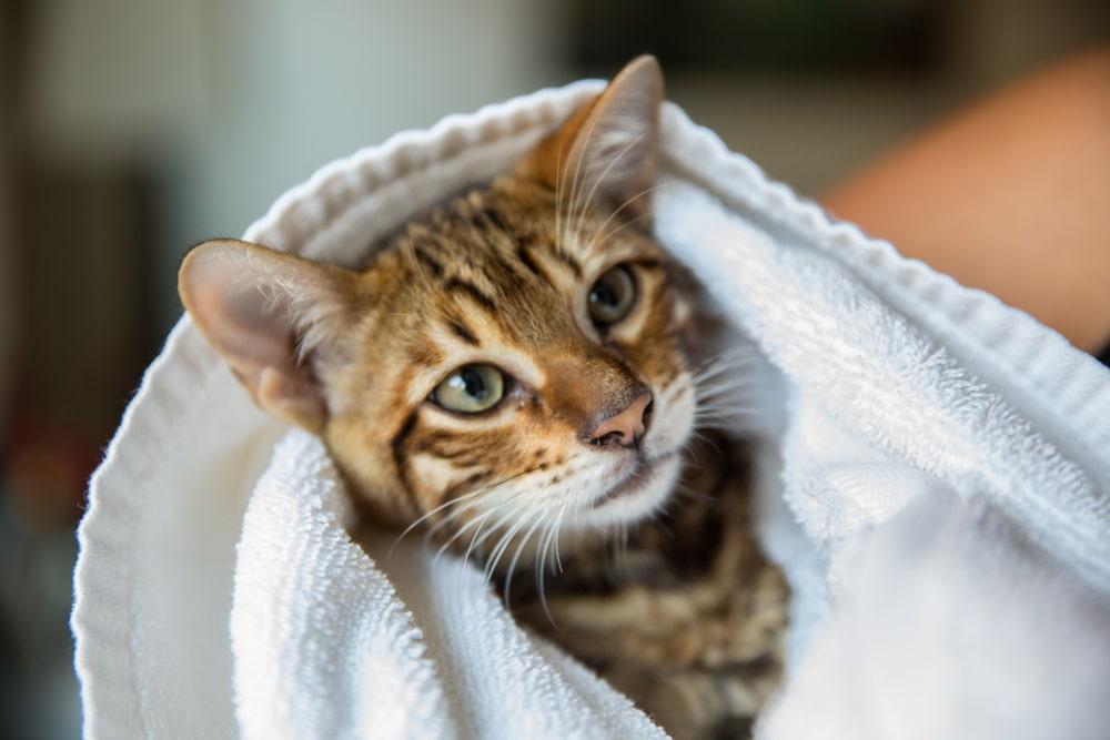 猫がどうしてもお風呂に入ってくれないときは