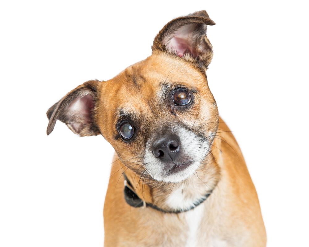 【獣医師監修】犬の白内障は怖い!そのメカニズムと対処法